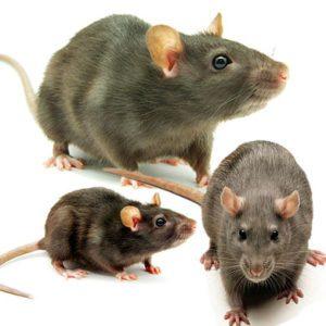 d ratisation antony 92160 entreprise deratisation anti souris et rats. Black Bedroom Furniture Sets. Home Design Ideas